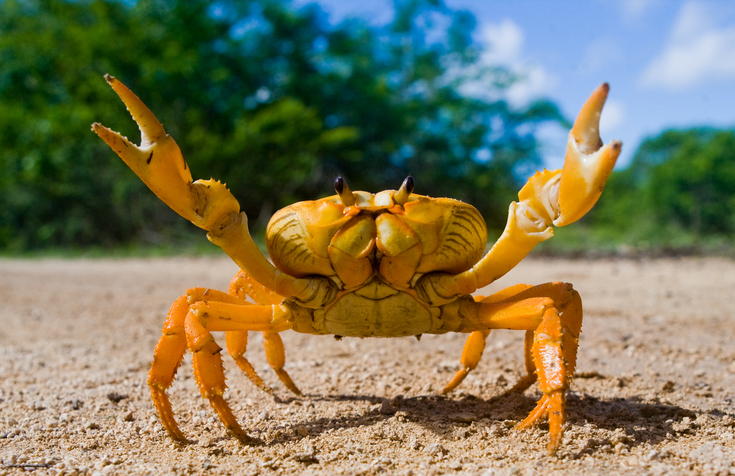 how to get rock crabs to attack you