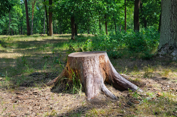 Intermediate word of the day stump wordreference word of the day a stump is the lower part of a tree trunk thats left standing after the upper part is cut down or falls its also the part of a limb of the body malvernweather Gallery